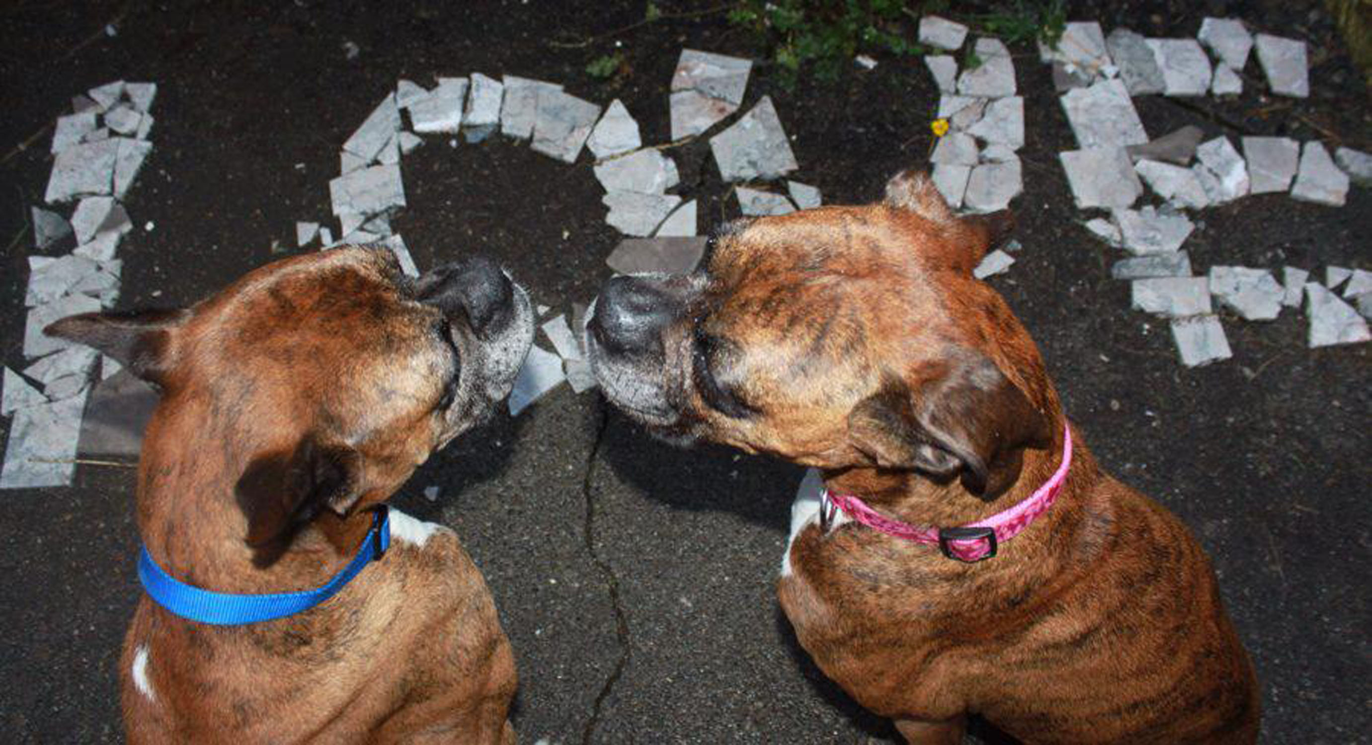 Boxer Dog Rescue North West